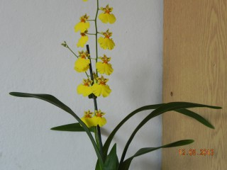 Galjaovedenska@abv.bg | Орхидея Онцидиум | 21 харесвания